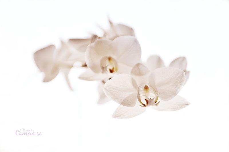 Orkige